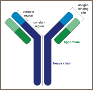 Generation-of-B-cell-antibody-diversity-Figure-1